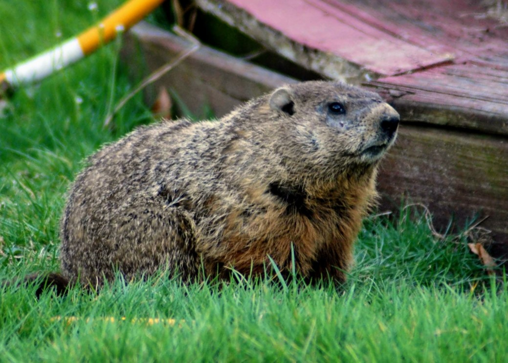 Do Groundhogs Burrow Under a House and Can They Damage It?