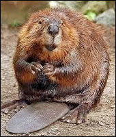 Beaver Removal Services Westchester County NY
