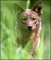 Coyote Removal in Dutchess & Fairfield County