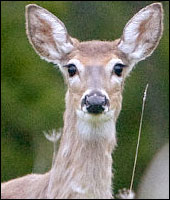 Deer Removal in Westchester County