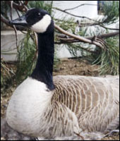 Geese Removal in NY & CT
