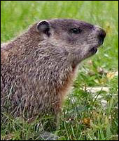 Groundhog Control Services in Fairfield County
