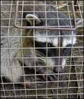 Raccoon trapping and removal in Dutchess and Fairfield County