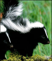 Skunk Removal in Fairfield County