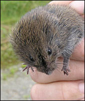 Vole Meadow Mice